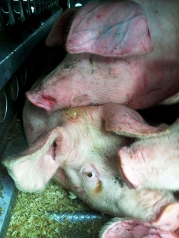 © Sharon Lax/Pig Save Montreal